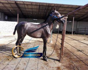 خرید اسب و فروش اسب_ سزار