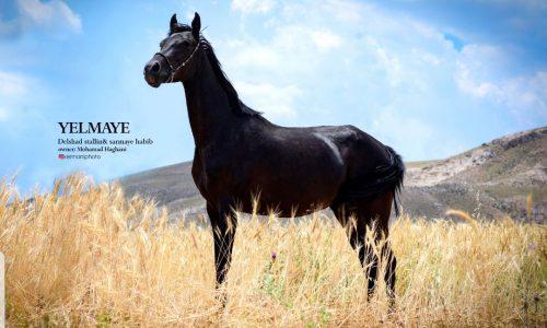 خرید اسب و فروش اسب_ یلمایه حبیب
