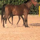 خرید اسب و فروش اسب_مادیان کره فین فین
