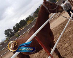 خرید اسب و فروش اسب_ آتایار