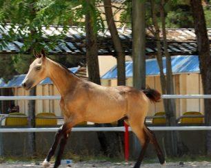 خرید اسب و فروش اسب_ اسب آخال تکه