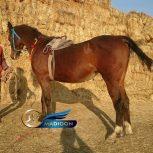 خرید اسب و فروش اسب_ مادیون تروبرد