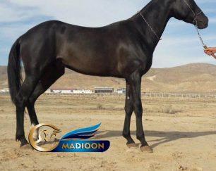 خرید اسب و فروش اسب_ اسب اصیل ترکمن