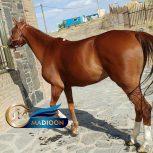 خرید اسب و فروش اسب_ اسب ترکمن خالص