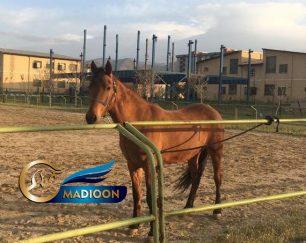 خرید اسب و فروش اسب_ مادیان ترکمن