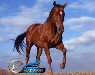 خرید اسب و فروش اسب_ اسب سیلمی خارجی