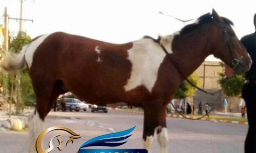 خرید اسب و فروش اسب_جسی