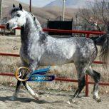 خرید اسب و فروش اسب_گوستاو
