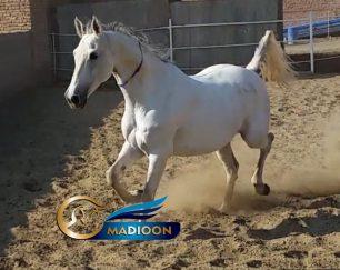 خرید اسب و فروش اسب_ اسب مادیان