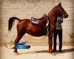 خرید اسب و فروش اسب- مادیان کرد آبستن سه و نیم ماهه