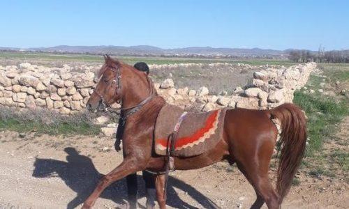 خرید اسب و فروش اسب- اسب کرد