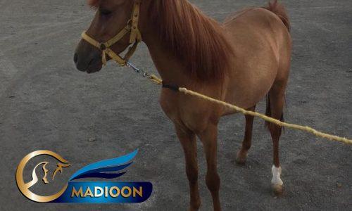 خرید اسب و فروش اسب_ پونی