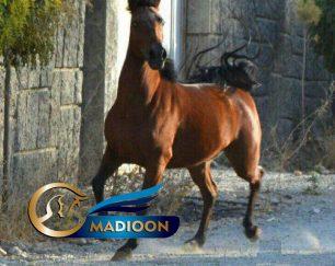 خرید اسب و فروش اسب_ آبیبد (تمساح ایران)