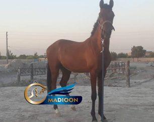 خرید اسب و فروش اسب_ کره اسب نریان