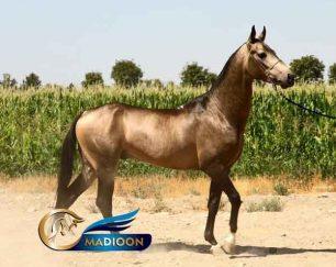 خرید اسب و فروش اسب_ سیلمی کششی آراج