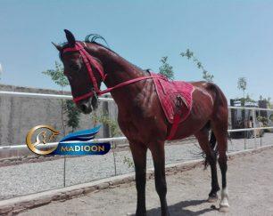 خرید اسب و فروش اسب_ آهوپا