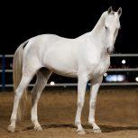 خرید اسب و فروش اسب_ سیلمی آلپای صحرا