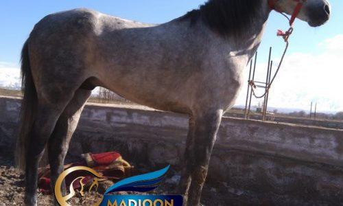 خرید اسب و فروش اسب_ اسب کرد