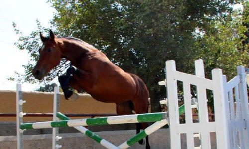 خرید اسب و فروش اسب_ اسب دوسر خارجی هلشتاین