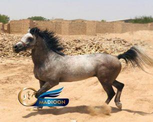 خرید اسب و فروش اسب_یاشار