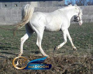 خرید اسب و فروش اسب_اسب عرب مصری