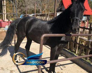 خرید اسب و فروش اسب_ نریان دوخون ( فریزین و ترکمن)