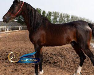 خرید اسب و فروش اسب_ اسب عرب خالص ایرانی