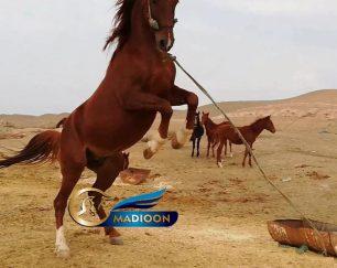 خرید اسب و فروش اسب_اسب اصیل کرد