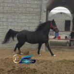 خرید اسب و فروش اسب_ سیلمی عرب