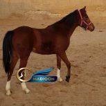 خرید اسب و فروش اسب_ بهنیا سپهری