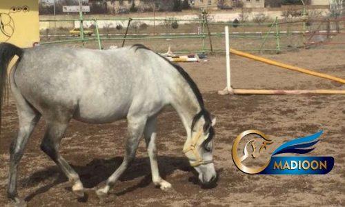خرید اسب و فروش اسب_اسب عرب وارداتی خط خونی مروان الشقب
