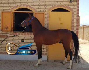 خرید اسب و فروش اسب_ نریان عرب