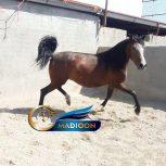 خرید اسب و فروش_کره مادیون کرد