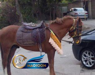 خرید اسب و فروش اسب_ اسب کرد ترکمن