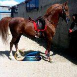 خرید اسب و فروش اسب_ نریون عرب