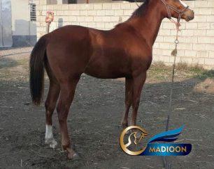 خرید اسب و فروش اسب_ مادیان تروبرد دوسر وارداتی