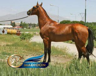 خرید اسب و فروش اسب_ سیلمی آخال تکه