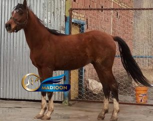 خرید اسب و فروش اسب_ اسب کورس