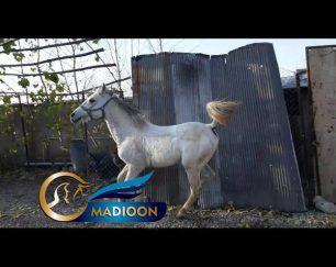 خرید اسب و فروش اسب_ اسب نریان کرد