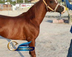 خرید اسب و فروش اسب_نریان عرب یه سر وارداتی