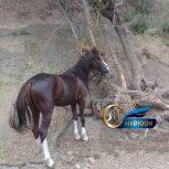 خرید اسب و فروش اسب_ اسب عرب ایرانی