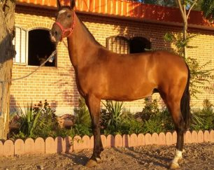 خرید اسب و فروش اسب_آیلر