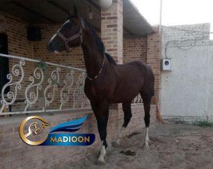 خرید و فروش اسب_اسب تروبرد دوخون