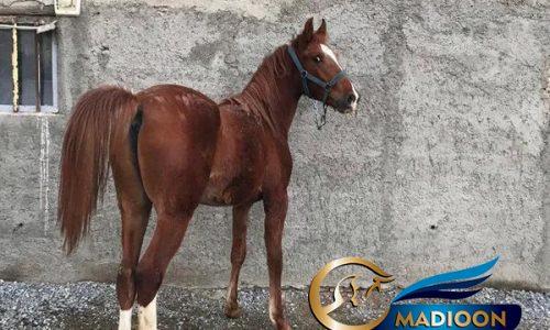 خرید اسب و فروش اسب_هیبت