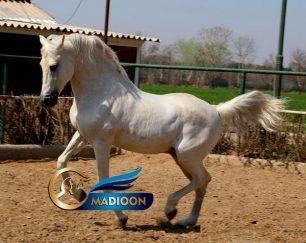 سیلمی برای کشش_اسب عرب خالص ایرانی