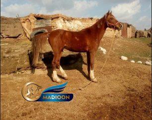 خرید اسب و فروش اسب_ اسب اصیل کرد