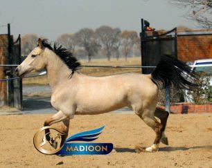 خرید اسب و فروش اسب_ مادیون آخال تکه