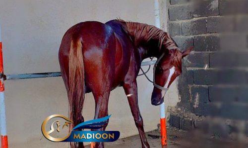 خرید اسب و فروش اسب_ اسب پرشی