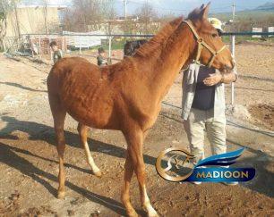 خرید اسب و فروش اسب_ کره اسب آخال تکه
