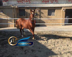 خرید اسب و فروش اسب_ اسب نریون دوسر